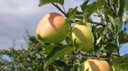 Manzanas Macfrut Digital