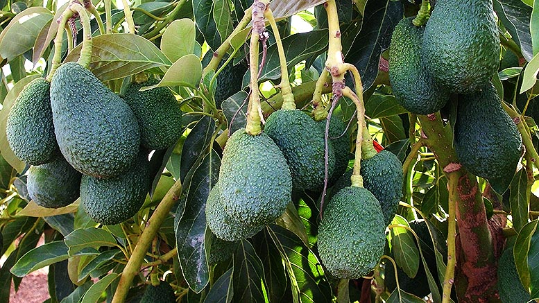 aguacate Canarias