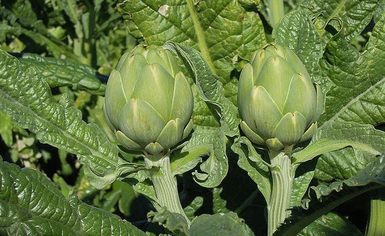 alcachofa beneficios salud