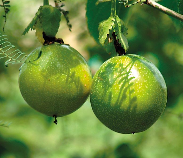 Canarias Impulsa El Cultivo Del Maracuyá