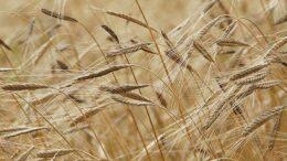 cosecha de cereales