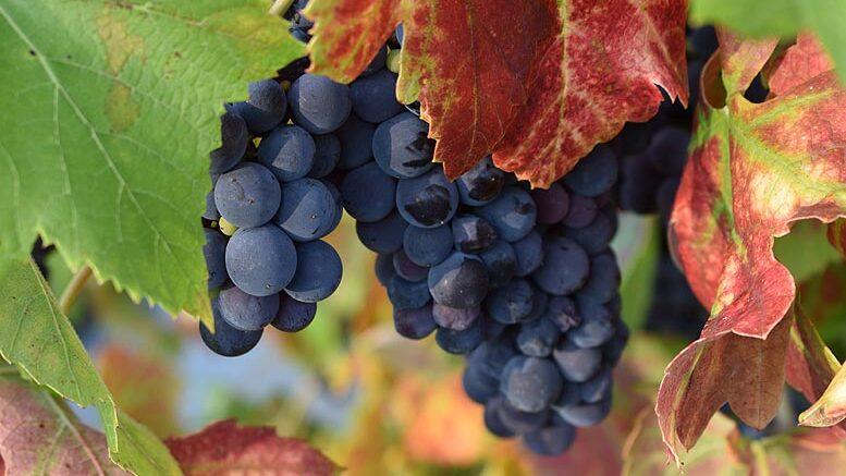 uva para vino y cava