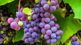 vendimia vini