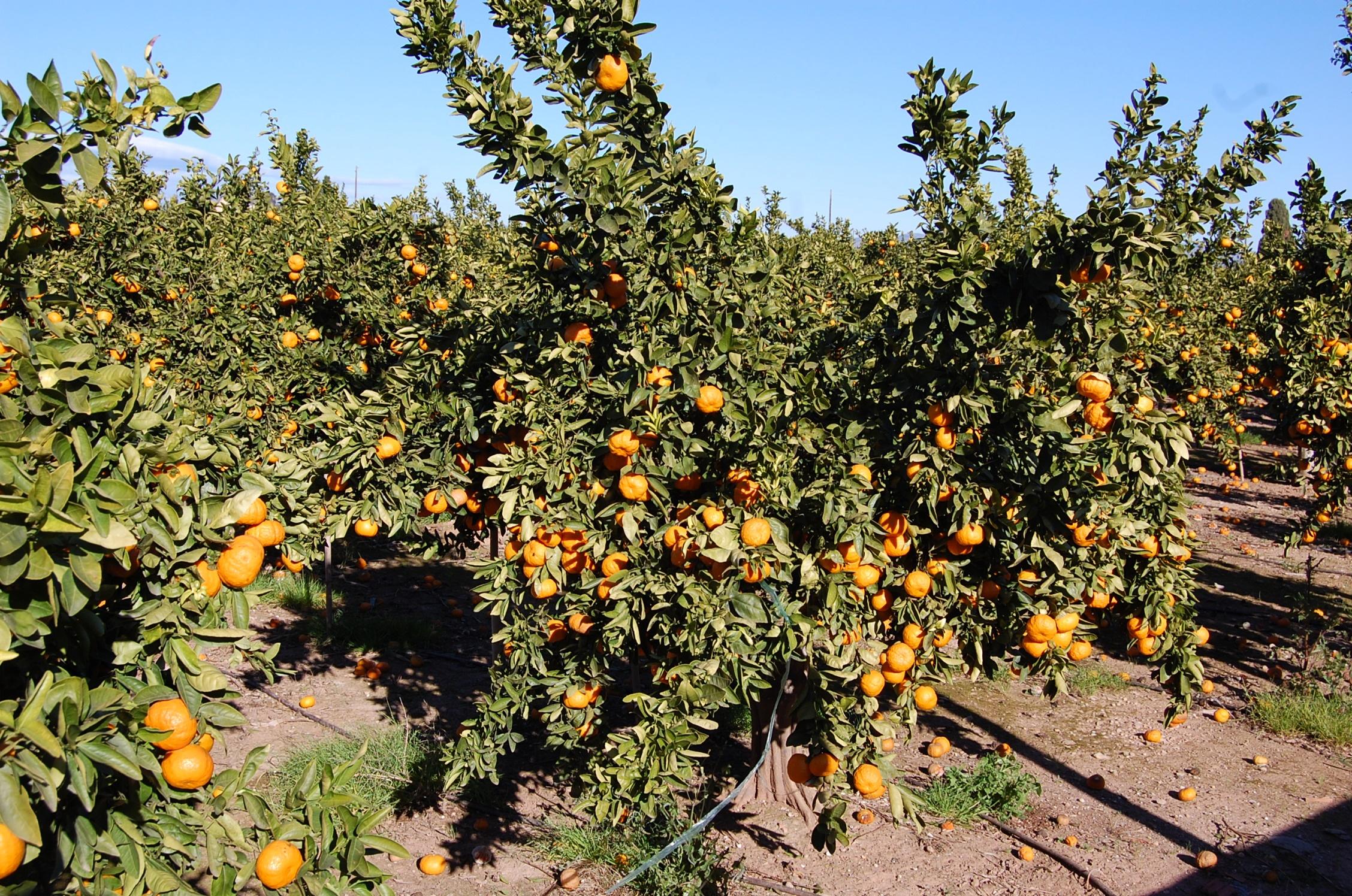 campo mandarinas