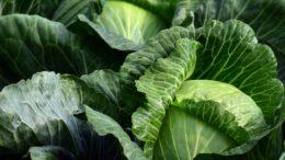 variedades hortofrutícolas